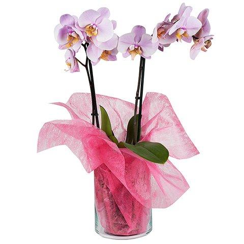 orchideen online kaufen floraqueen. Black Bedroom Furniture Sets. Home Design Ideas