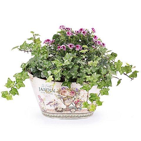 Gartenzauber: Pelargonien Angeleyes Randy