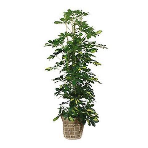 A Touch of Nature: Schefflera plant