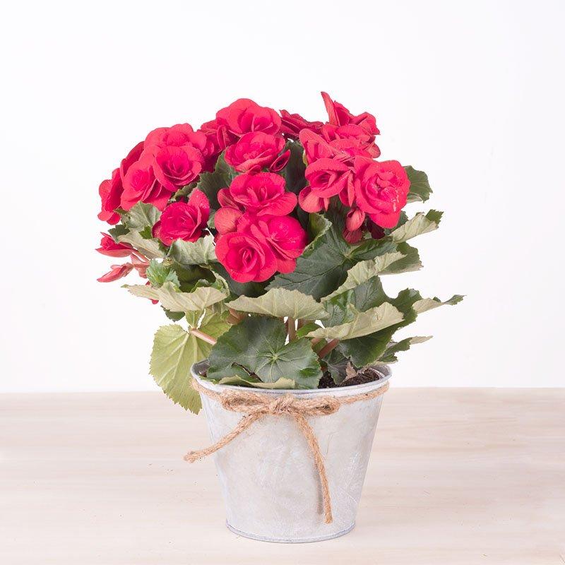 Sorpresa - Begonia Roja