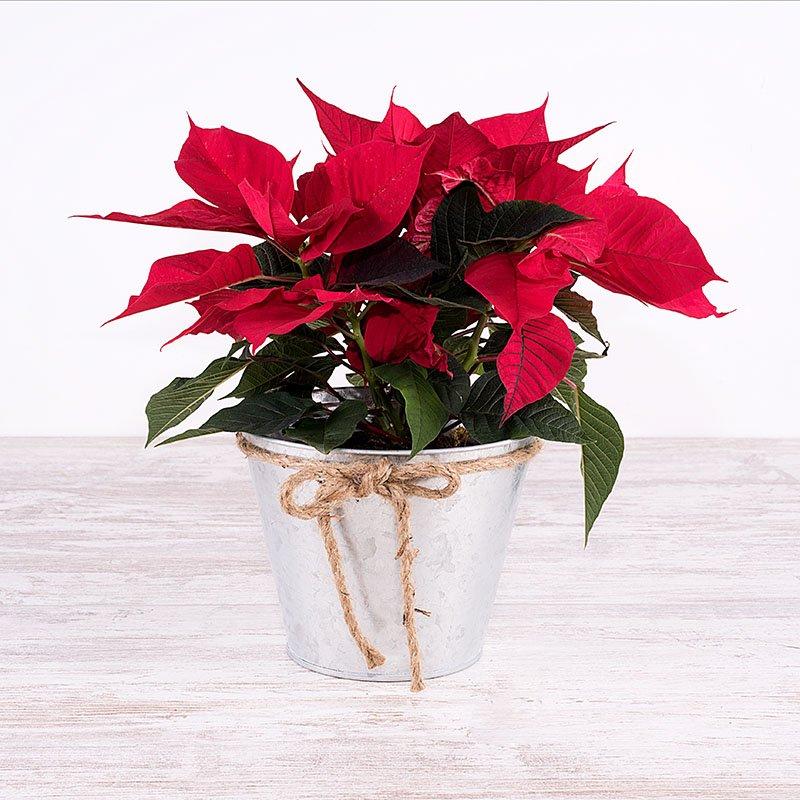 Planta de Navidad - Poinsettia